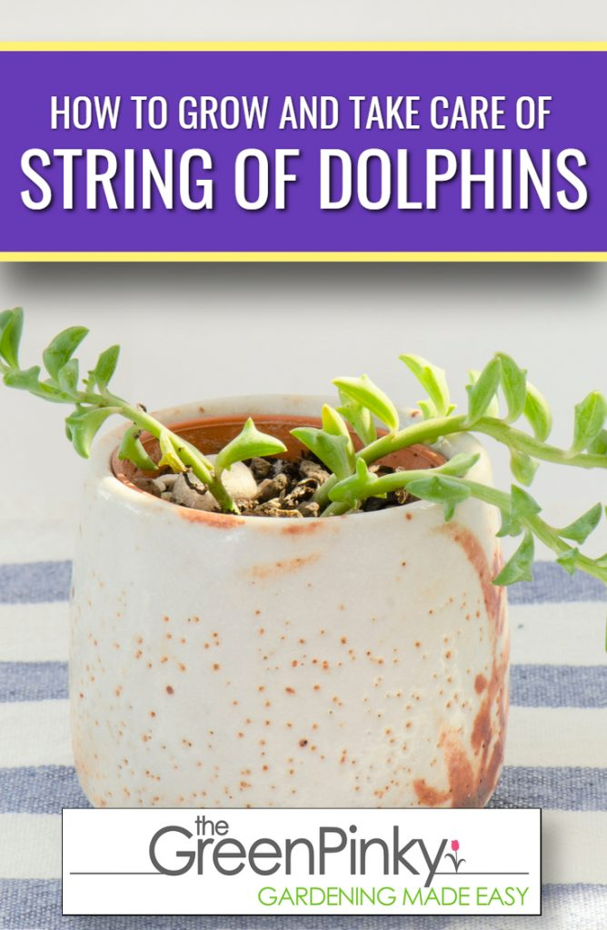 String of dolphins grow healthy with proper guide