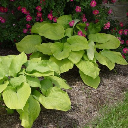 Sum and substance is a popular large species of hostas