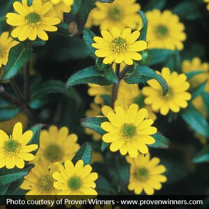 Bright yellow zinnia will add a flare to butterfly gardens.