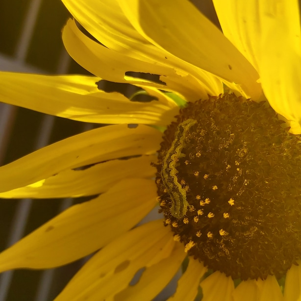 Sunflowers can act as trap crop to attract the caterpillars