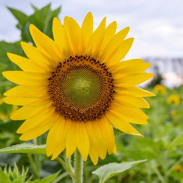 Sunflowers can either be a weed or a companion plant.