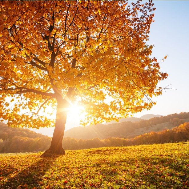 Beech tree in the appropriate amount of sun during the fall