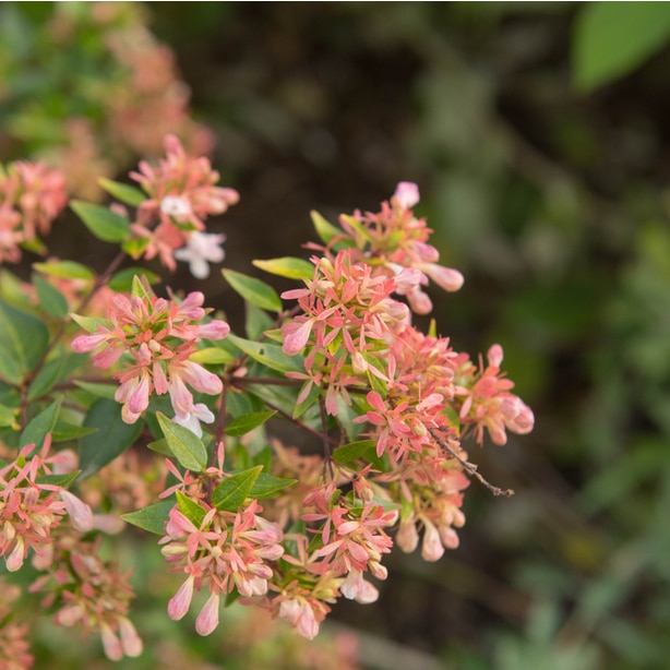 The sunshine daydream flowers are a creamy pink and very fragrant