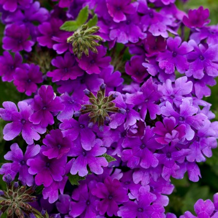 Dark blue-purple flowers can attract multiple different insects.