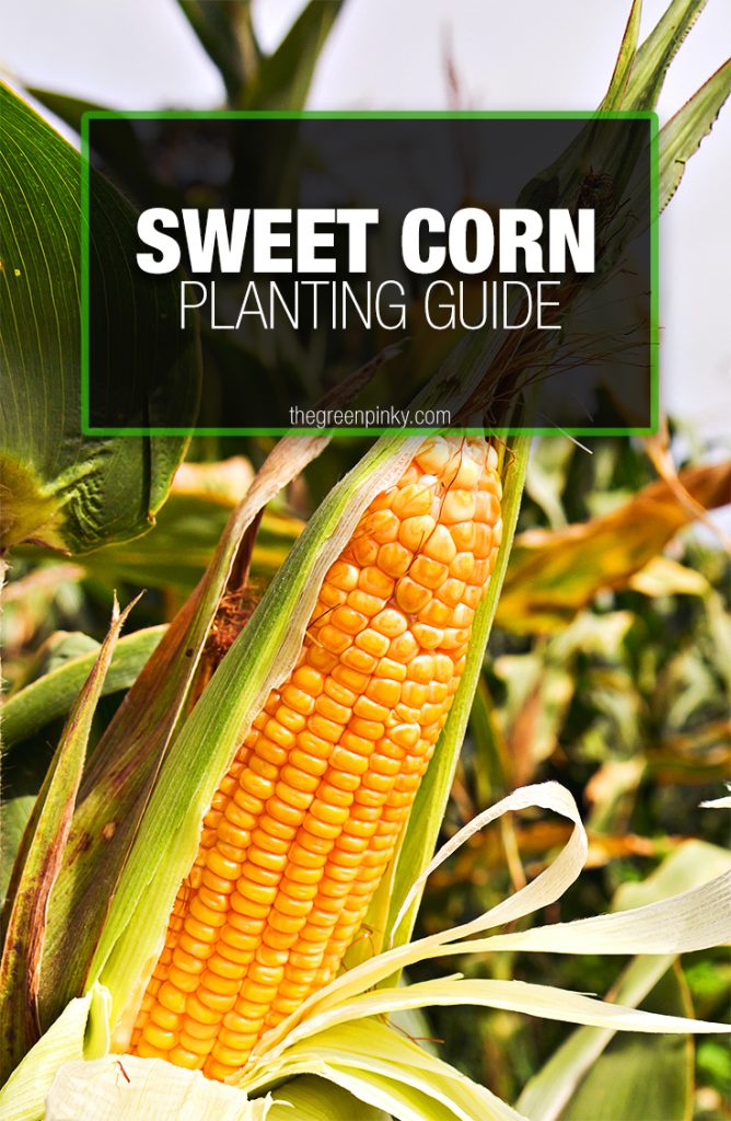To properly grow sweet corn a care with tips is required.