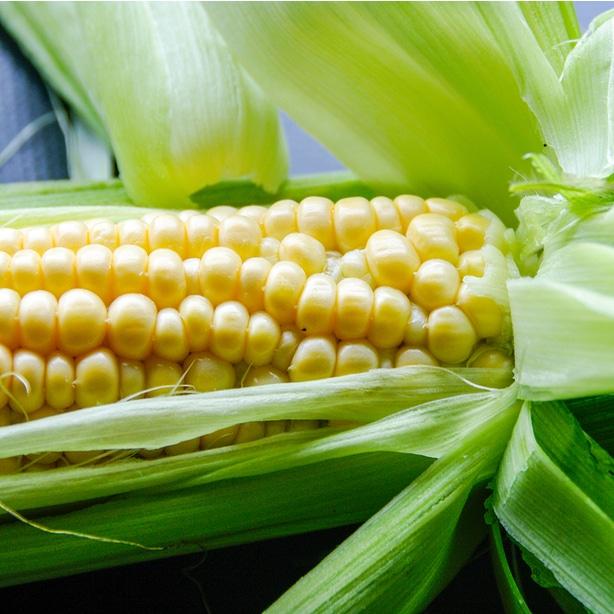 Healthy sweet corn harvest ready to be eaten