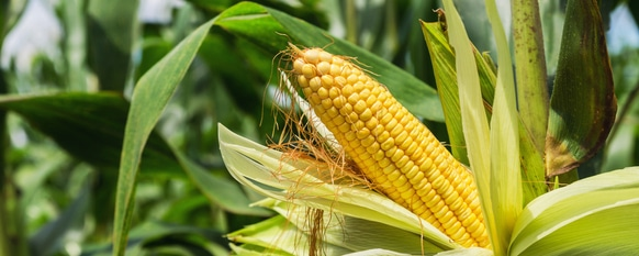 Sweet corn with its husk peeled back ready to be harvested