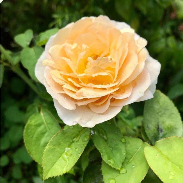 Peach petals make this rose seem delicate