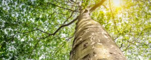 Sycamore grows healthy with the proper water and sun