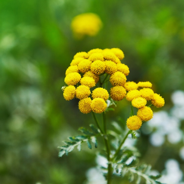 Tansy, used to be a popular culinary herb, but not can be used as an insect deterrent.