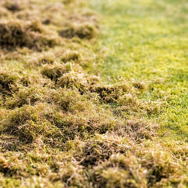 Thatch build up needs to be removed to prevent more dead grass