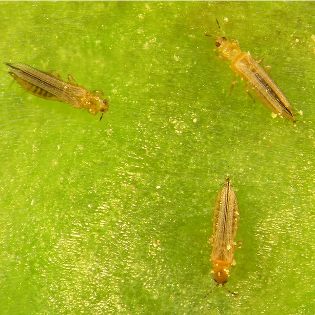 Thrip infestation as a pest can cause diseases