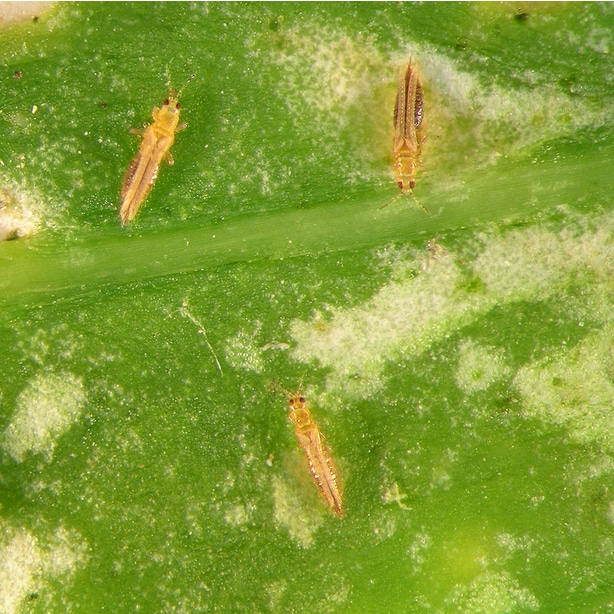 Thrips are winged insects that can take sap and nutrients from foliage.
