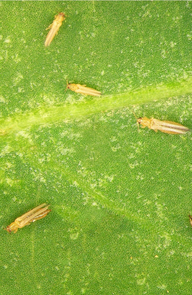 Thrips on a leaf need to be removed before they become a problem