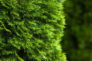 Thuja occidentalis make wonderful trees if grown properly