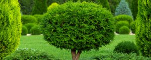 An arborvitae that is trimmed in a pom pom design with a small tapered trunk