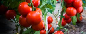 Healthy ripe tomato from proper nutrients and fertilization