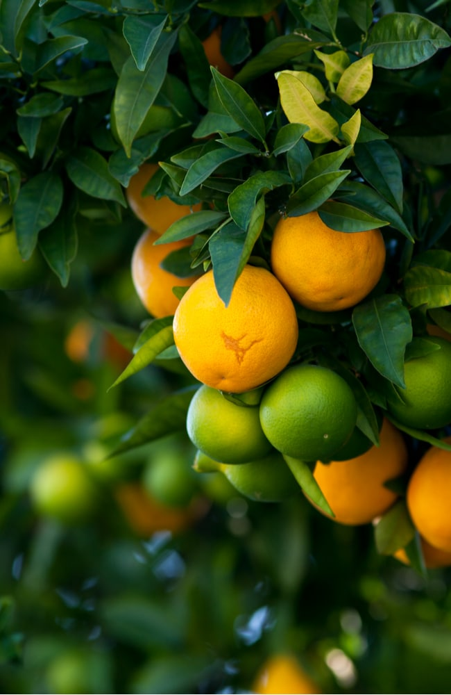 Top fertilizers for lemon and lime trees help prevent diseases