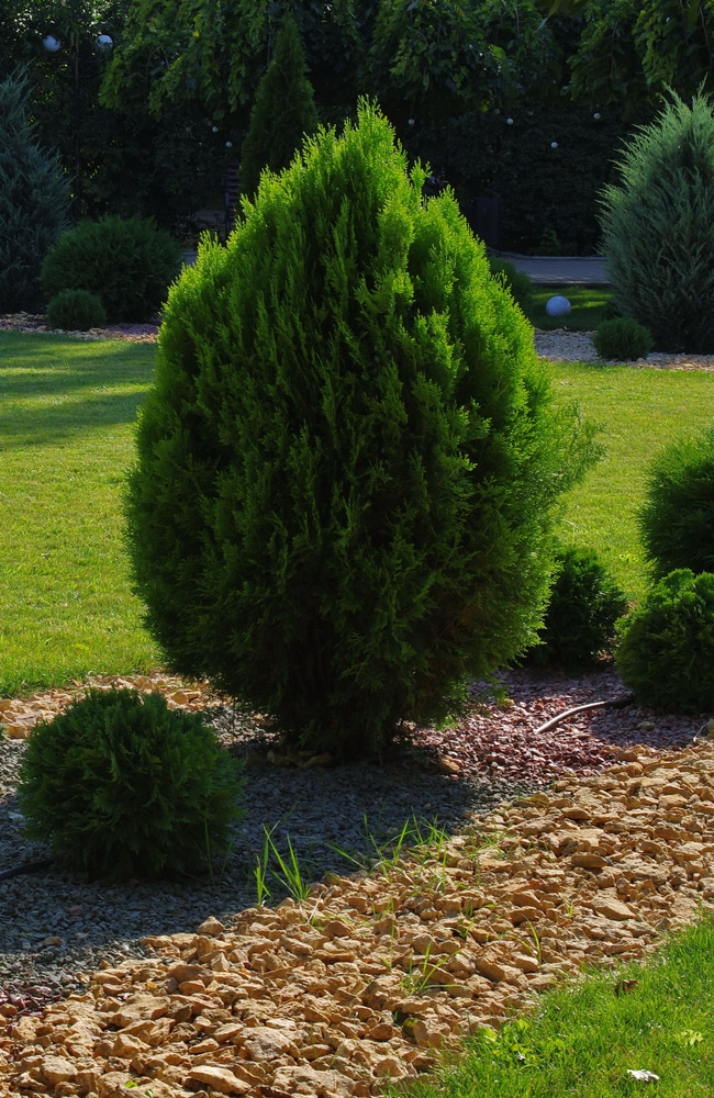 Top recommended plant food for thuja will help it remain healthy