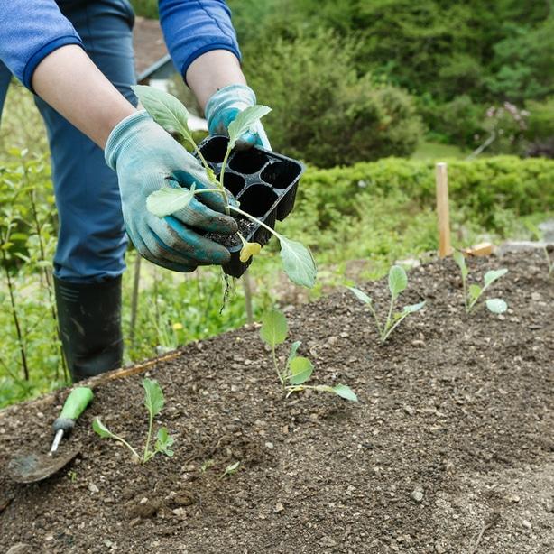 Gardener is transplanting germinated broccoli plants