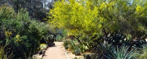 Desert trees that grow in arid conditions