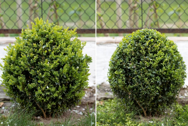 A before and after trimming arborvitae picture.