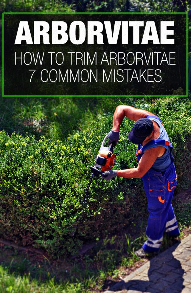Common mistakes people make when trimming arborvitae.
