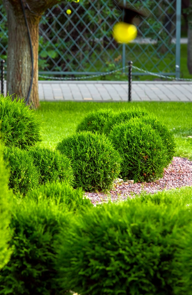 A bunch of well cut and shaped thuja bushes