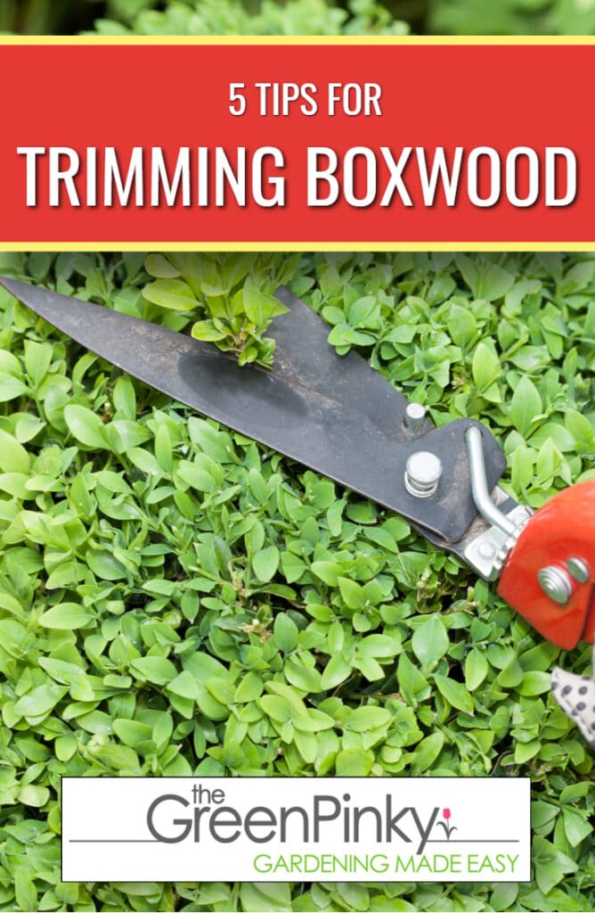 Trimming boxwood will help your boxwood remain healthy