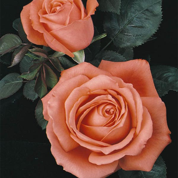 Tropicana has lovely peach orange color and falls into the hybrid tea subcategory
