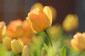 health tulip blooms require proper care and maintenance