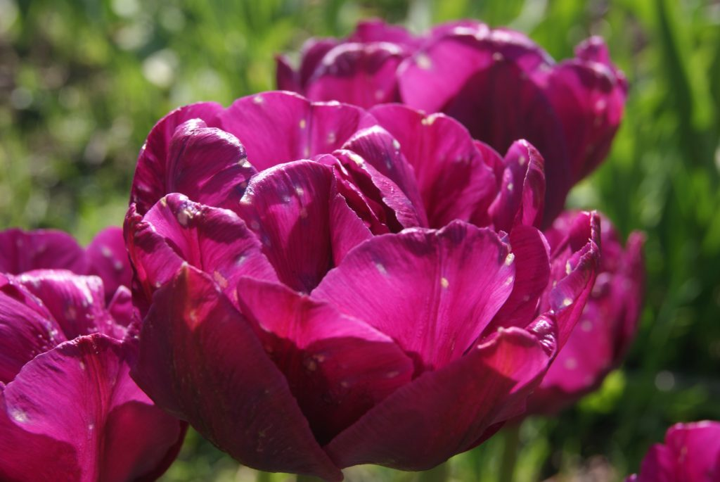 A pink tulip with petals with spots on them signifying the signs of bacterial rot and disease
