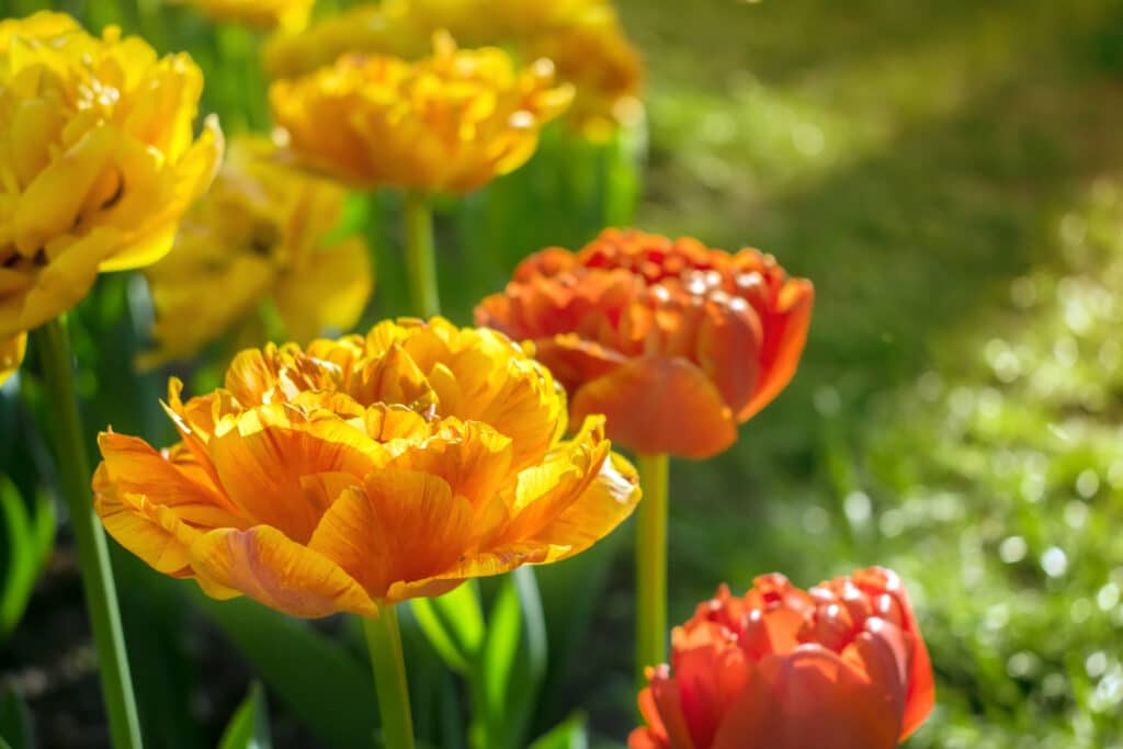 Yellow and orange tulips that are sitting in the sun