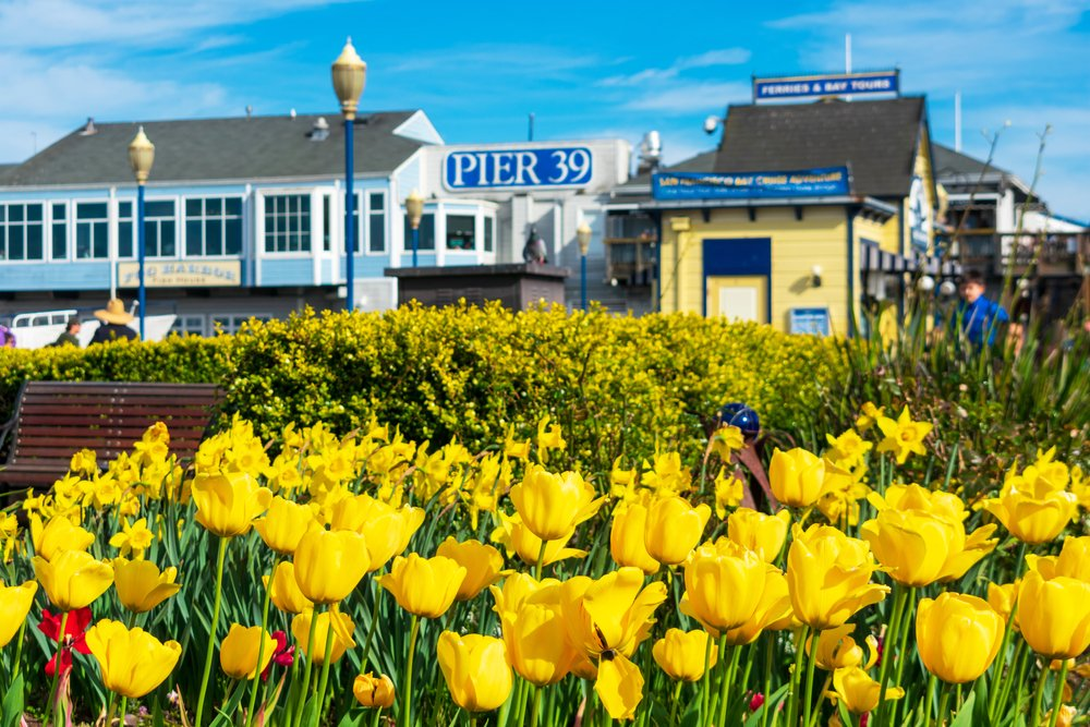 Pier 39 in san francisco california featuring tulipmania with a bunch of yellow tulips and the pier in the background