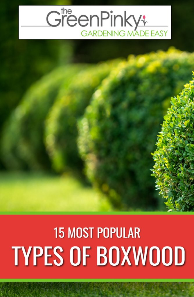 Different types of boxwood have different qualities that make them more suitable for certain environments