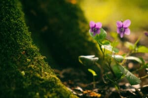 Wild violets growing in the gorest near a bunch of moss.