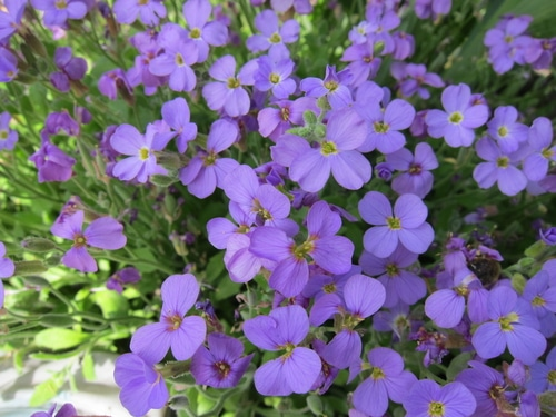 Violets are often viewed as invasive species