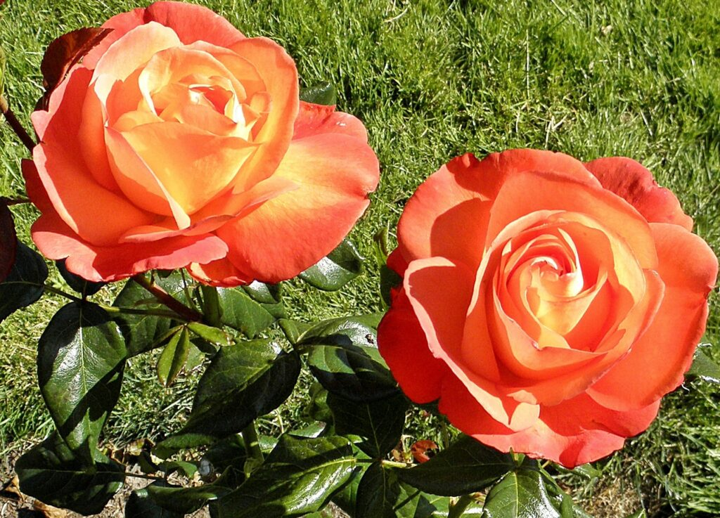 The voodoo hybrid has red, orange, and yellow petals that is a standout in a garden