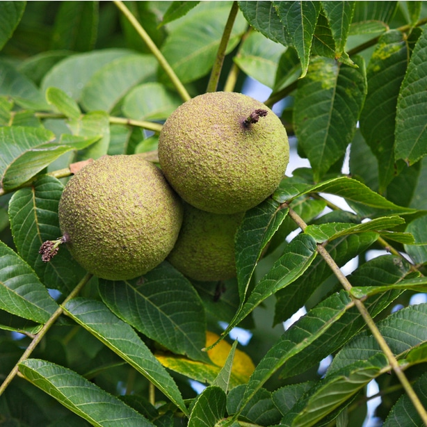 Walnut fruits will eventually ripen and are greenish-brown in color.