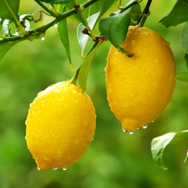 Adequate water is needed for healthy fruits