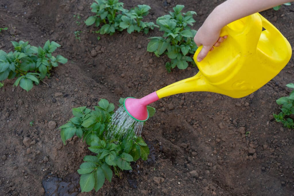 A person using a yellow watering can to water potato plants