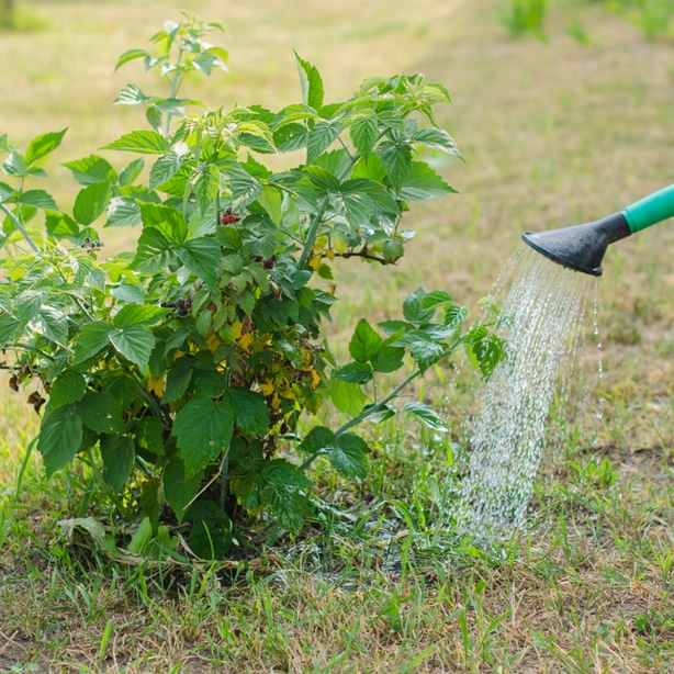 Watering bush at the base to meets its requirements and to help its roots grow