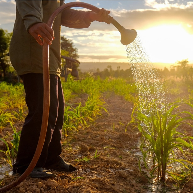 A man watering corn to allow for robust growth.