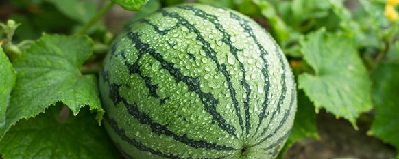 Watermelon Growing Stages (The 5 Stages)