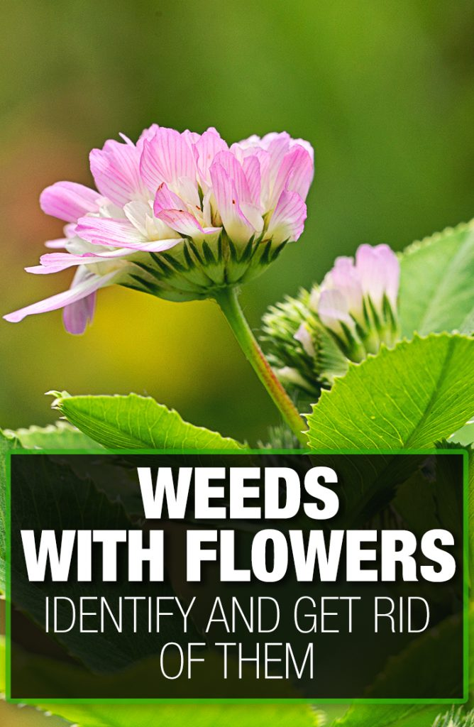 Weeds with flowers need to be identified and removed promptly.