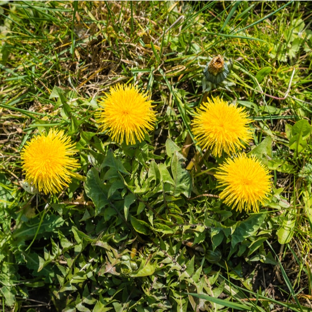 Dandelion weeds on the lawn