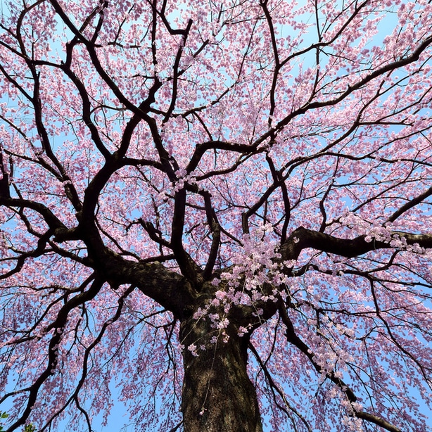 A hallmark of the weeping cherry tree are its cascading canopies that fill with flowers.