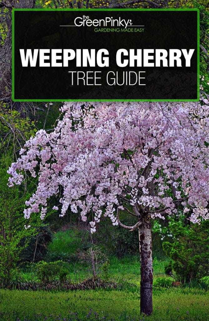 Weeping cherry trees can grow robustly  with the help of a care guide and proper maintenance.