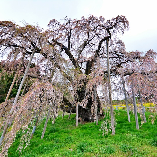 The weeping higan doesn't fill in as much as some other trees, but it still flowers beautifully.