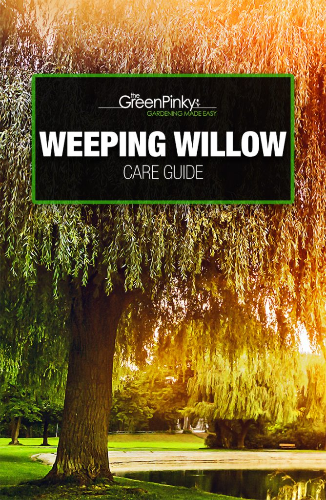 Weeping willow requires appropriate maintenance for optimal growth